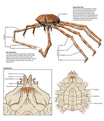 Michael Soong Japanese Spider Crab